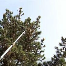 Šumari uništavaju gnijezda opasne gusjenice - 1