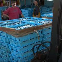 Ulovljene sardine