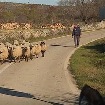 Ovce, ilustracija