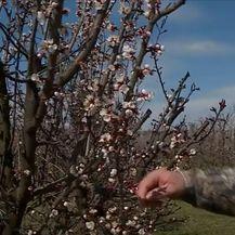Domagoj Škobić u svom voćnjaku