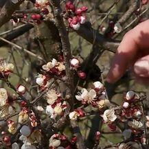 Isušeni pupovi voćki