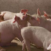 Afrička svinjska kuga pred vratima (Foto: Dnevnik.hr) - 1
