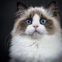 Mačka Ragdoll