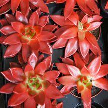 Ovan - crvena Echeveria Agavoides
