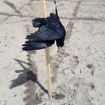Obješena vrana korištena kao strašilo (Foto: Čitatelj)
