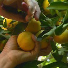 Mandarine (Foto: Dnevnik.hr) - 1