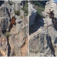 Medvjedić na stijeni (Foto: Screenshot snimke Darija Švagelja)