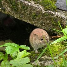 Epidemija mišje groznice - 3