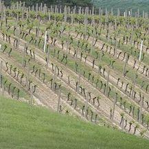 Vinograd, ilustracija - 1
