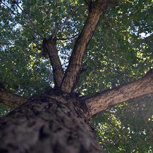 Drveće je u gradovima izrazito bitno jer apsorbira štetne tvari i stvara kisik