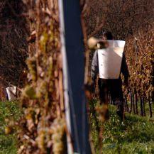 Vinogradarstvo (Foto: Dnevnik.hr) - 2