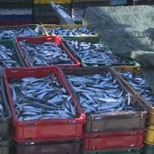 Mala plava riba (Foto: Dnevnik.hr) - 3