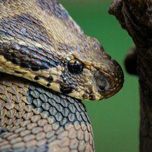 Daboia russelii je jedna od najotrovnijih zmija na svijetu