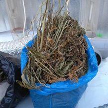 Pronađen šator za uzgoj indijske konoplje (PU zagrebačka) - 4