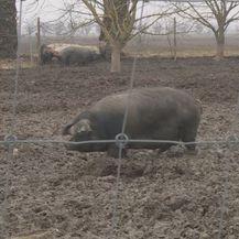 Svinja u blatu (Foto: Dnevnik.hr)