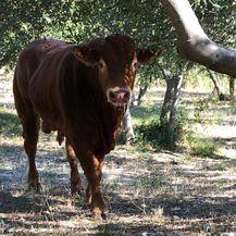 Zadnje fotografije bika Jerryja (Foto: Dnevnik.hr) - 4
