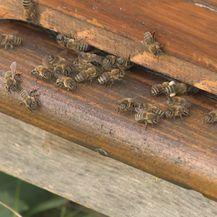 Stršljeni - problem i za ljude i za pčele (Foto: Dnevnik.hr) - 3