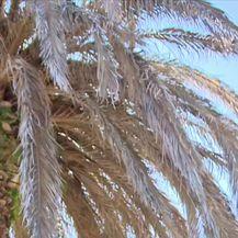 Oboljele sve palme na Ugljanu (Video: Dnevnik Nove TV)