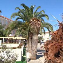 Oboljele sve palme na Ugljanu (Foto: Dnevnik.hr) - 2