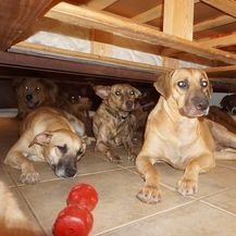Psi u kući Chelle Phillips (Foto: Chella Phillips/Voiceless Dogs of Nassau) - 2