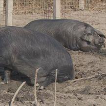 Svinje u blatu (Foto: Dnevnik.hr)