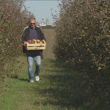 Berba jabuka (Foto: Dnevnik.hr) - 1