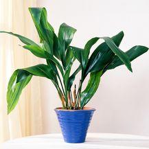 Aspidistra je biljka koja može preživjeti u svakakvim uvjetima - 1