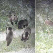 Medvjedica i divlja svinja s mladuncima u dvorištu obiteljske kuće