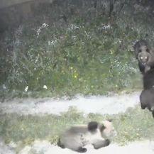 Medvjedi i divlje svinje s mladuncima u dvorištu obiteljske kuće - 1