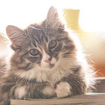 Norveška šumska mačka svoju fizičku i emotivnu zrelost postiže oko četvrte godine života
