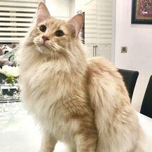 Norveška šumska mačka jedna je od onih mačaka koja će se vrlo brzo sprijateljiti sa svakime