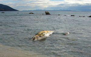 More na obalu nanijelo ogromnu uginulu ribu (Foto: Ivica Trojanović/Facebook)