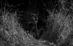 Crni leopard