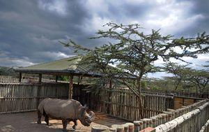 Posljednji na svijetu mužjak sjevernog bijelog nosoroga uginuo je u Keniji (Foto: AFP)