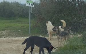 Napadi čopora pasa (Foto: Dnevnik.hr) - 3
