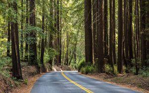 Golemi mamutovac u Henry Cowell Redwoods State parku - 1