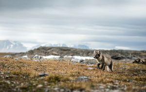 Arktička lisica (ilustracija)
