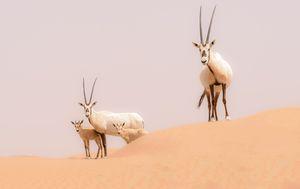 Arapski oriks