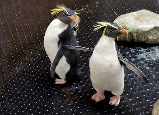 Žutouhi pingvini