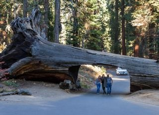Tunel kroz stablo Nacionalnog parka Sequoia u Kaliforniji - 1