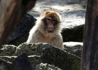 Majmun vrste makaki (Foto: PIXSELL/Borna Filić)