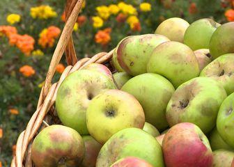 Sezona jabuka u punom jeku (Foto: Dnevnik.hr)
