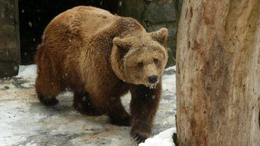 Medvjed, ilustracija (Foto: Borna Filic/PIXSELL)