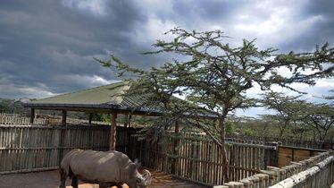 Posljednji mužjak na svijetu sjevernog bijelog nosoroga uginuo je u Keniji (Foto: AFP)