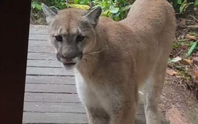 Puma (Foto: Screenshot/YouTube)