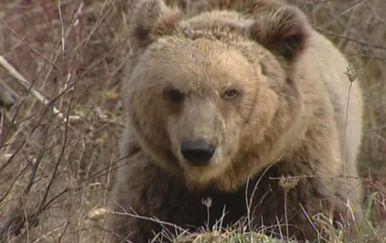 Medvjed u divljini (Foto: Dnevnik.hr)
