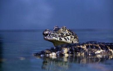 Krokodil/Ilustracija (Goran Kovačić/PIXSELL)
