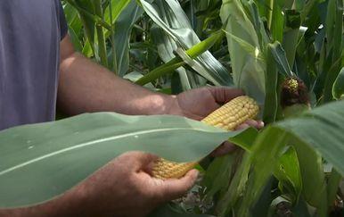 Kiša u Slavoniji spasila poljoprivrednike - 3