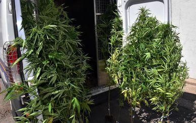 Policija pronašla 91 stabiljku marihuane u Novoj Gradiški - 3