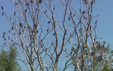 Ministarstvo zaštite okoliša predomislilo se u vezi odstrela kormorana (Foto: Dnevnik.hr)